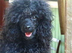 Zazzera at 11 months Nov 2006 (janinetreetops) Tags: cute dogs hair play clip grooming poodle coiffeur hairstyles wildhair