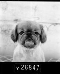 (Aaron Wickenden) Tags: dog haircut chicago cute 120 rooftop dogs mutt evil pekingese faced stare mugshot pekinese pekes mamiyac330 smushed peke pequisnes pikingese