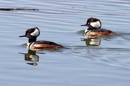a group of birds crested merganser habitat