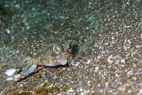 Camouflage!, ikan sebelah, gambar ikan sebelah, ikan menyamar, penyamaran ikan