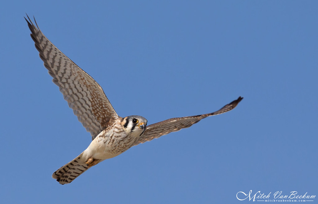 American Kestrel (Explored)