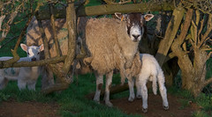 Hide and Seek (sho5572) Tags: fleece wool flock lambing outdoor nature uk nikon flickr april spring agriculture farming farmer farm animals twins mother lambs ewe sheep