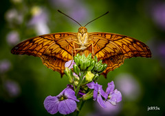 Cruiser (jt893x) Tags: 105mm afsvrmicronikkor105mmf28gifed butterfly cruiser d810 insect jt893x macro nikon vinduladejone alittlebeauty thesunshinegroup coth