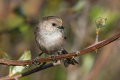 Clarke_180422_6805.jpg (www.raincoastphoto.com) Tags: birds psaltriparusminimus birdsofbritishcolumbia birdsofnorthamerica bushtits sparrows birdsofcanada britishcolumbia canada