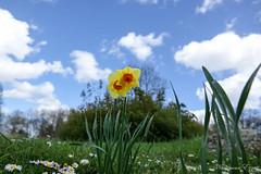 Narcisse (Ezzo33) Tags: france gironde nouvelleaquitaine bordeaux ezzo33 nammour ezzat sony rx10m3 parc jardin fleur fleurs flower flowers narcisse