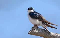 Tree Swallow (JDA-Wildlife) Tags: gorgeous brilliant birds nikon nikond7100 tamronsp150600mmf563divc jdawildlife johnny portrait closeup eyecontact swallows swallowtree treeswallow whatbirdbestofday