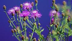 Spotted Knapweed (Centaurea stobe), Miller Creek - Duluth MN, 07/13/18 (TonyM1956) Tags: elements tonymitchell millercreek duluth minnesota stlouiscounty nature macrounlimited sonyphotographing sonyalphadslr