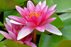 Water Lilies (misi212) Tags: water lilies