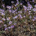 yellowthroats, Phacelia fremontii thumbnail
