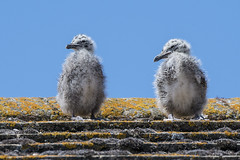 Gull Chicks (Barnacle Bill Simmons) Tags: gull chicks hot roof peacehaven eastsussex uk