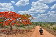 Flame tree in the bush