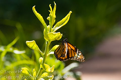Monarch 2 (Kenjis9965) Tags: canoneos7dmarkii 150600mmf563dgoshsm|c canon eos 7d mark ii sigma 150600mm f563 dg os hsm contemporary monarch butterfly insect milkweed resting feeding eating nature natural bug flying saturated lighting telephoto