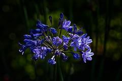 Blue Flowers (anderswetterstam) Tags: flowers nature flora floral botanical blue dark summer summertime closeup