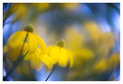 Rudbeckia nitida (leo.roos) Tags: yellow geel rudbeckianitida zonnehoed rudbeckia shinyconeflower coneflower swirly a7 pangénieuxparisf50112 angénieux5012 projectorlens projectionlens 12 darosa leoroos