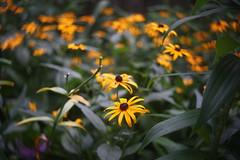 DSC09226 (Old Lenses New Camera) Tags: sony a7r foth fothderby 50mm f25 plants garden flowers blackeyedsusan