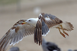 Lesser Black-backed Gull, Second Summer 7/8