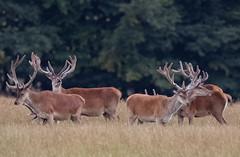Wild exmoor stags (edh23) Tags: nature autumnstag wild exmoor stag reddeer