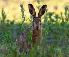 Very Alert Brown Hare (Steve (Hooky) Waddingham) Tags: stevenwaddinghamphotography animal countryside nature wild wildlife brown run fast