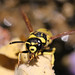 Wasp I rescued from the bird bath.