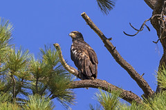 Juvenile Bald Eagle Perch (KGrif_) Tags: eyes eagle bird birdofprey animal california claws feathers fly flight beak wing tail takeoff talons baldeagle perch tree above nature sky birdwatching texture feather stare stand hunting branch limb juvenile stormy rare