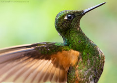Buff-tailed Coronet (Boissonneaua flavescens) (www.sanjorgeecolodges.com) Tags: bufftailed coronet boissonneaua flavescens cuador south america san jorge ecolodges tours trips birding bird photo luis alcivar best pájaro tucán animal macrofotografía madera birdwatching colibrí gente en la personas hummingbirds tandayapa sanctuary flor árbol hierba cielo magic circuit