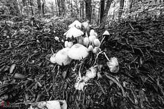 bunch of fungis- (BillRhodesPhoto) Tags: billrhodes asheville nc blackandwhite monochrome nature mushrooms
