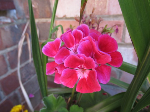 Friday, 10th, The geraniums love this weather IMG_4294