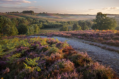 Rockford Common (Vanannlin) Tags: newforestnationalpark heathland purpleheather scenery wild flowers morninglight rockfordcommon hampshire uk landscape ferns canon lee polariser 5diii 1635mmf4 purple