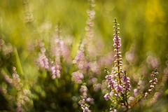 erica (anna barbi) Tags: sfocato pentacon erica