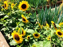 Nature is such a beautiful thing. (joss.williams) Tags: august summer happiness garden england bristol sunflowers flowers nature