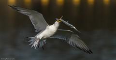 Gotcha....! (Mykel46) Tags: bif birds nature wildlife flight fish tern sony a9 100400mm