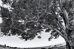 Tree - Itapuí/SP (Enio Godoy - www.picturecumlux.com.br) Tags: hymenaealfabaceae–caesalpinioideae itapuísp sonyalpha niksoftware silverefexpro2 jatai tree fruitjatai sony sony03 fruit sonyalpha6300 rokinon2812mm