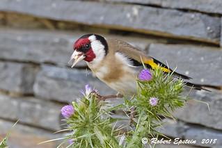 European Goldfinch  13