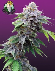 blue-cookies-seeds-240x312-1 (Watcher1999) Tags: blue cookies cannabis seeds marijuana thc strains indica medical growing weed smoking ganja reggae legalize it buds great big bud