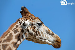 Rothchild's Giraffe Close 3 (Mike House Photography) Tags: safari park zoo animal wild wildlife green grass leaves browse tree trees sunny blue sky sun day time daytime africa african plains plain dry land hot mammal fur furs live young rothchilds giraffe long neck horns