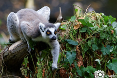 Ring-Tailed Lemur Crouch (Mike House Photography) Tags: safari park zoo animal wild wildlife green grass leaves browse tree trees sunny blue sky sun day time daytime africa african mammal fur furs live young lemur primate madagascar long tail fluffy ring tailed ringtailed