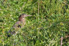 Green heron (Butorides virescens) (acryptozoo) Tags: greenheron heron bird birds aves chordata pelecaniformes ardeidae butorides virescens butoridesvirescens herons
