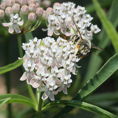 Megachilidae_male_6970sq3 (JKehoe_Photos) Tags: megachilidae leafcutter bee asclepiasfascicularis narrowleafmilkweed californianatives outdoors garden plant blossom santaclaracounty johnjkehoephotography