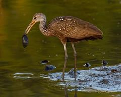 Clams Anyone? (craig goettsch - out shooting) Tags: sanibel2018 harnsmarsh limpkin clam avian marsh wildlife nature animals nikon d500