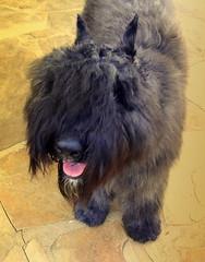 Them There Eyes (austexican718) Tags: dog canine perro chien hund bouvierdesflandres pedigreed akc herdinggroup pet farmdog