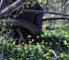 A Spring Walk 2015 IMG_0019 (ForestPath) Tags: springephemeral flowers yellow lessercelandine bright reflective shiny numerous ubiquitous small carpet coolgreenspongycarpet tree vine