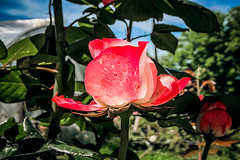 Rose garden (Melissa Maples) Tags: batumi batum ბათუმი adjara აჭარა georgia gürcistan sakartvelo საქართველო asia 土耳其 apple iphone iphonex cameraphone მწვანეკეპი mtsvanecape ბოტანიკურიბაღი botanicalgarden plant pink flower rose