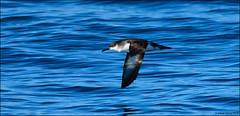 Manx Shearwater (Puffinus puffinus) (Steve Arena) Tags: bird birds birding pelagic minipelagic pelagicbirds chatham eastofchatham barn barnstablecounty massachusetts 2018 nikon d750 tubenose shearwater manxshearwater puffinuspuffinus