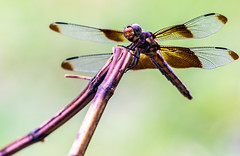 Dragonfly (Eeyore Photography) Tags: robertjacksonphotography nikond750 nikkor200500mmf56 eeyorephotography