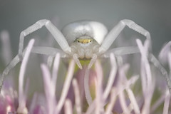 Misumena vatia (Tom Rop) Tags: misumena vatia araignée arachnide araneomorphae araneae arachnida crabe crab spider animal nature portrait canon 77d sigma 105mm