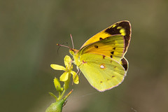 Clouded Yellow...... (klythawk) Tags: cloudedyellow coliascroceus female nature wildlife sunlight summer yellow brown green pink black white olympus omd em1mkll 100400mm panasonic leica slaptonley torcross southdevon klythawk