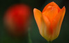 It's The Season (AnyMotion) Tags: tulpe tulip tulipa blossom blüte petals blütenblätter bokeh 2018 floral flowers blumen plants pflanzen anymotion frankfurt garden garten spring frühling primavera printemps natur nature colours colors farben orange red rot 7d2 canoneos7dmarkiii
