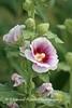 Benton Daylilly Farm (4) (Framemaker 2014) Tags: benton daylily farm garden flowers columbia county pennsylvania endless mountains united states america