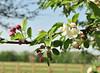 DSC_3693 (Thomas Cogley) Tags: brogdale national fruit collection faversham kent england uk thomas cogley thomascogley hanami festival tree flower blossom spring petal nature natural outdoors