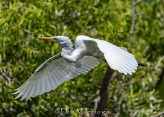 Great White Egret (DonMiller_ToGo) Tags: bird birdsinflight onawalk wildlife venicerookery rookery greatwhiteegret bif birds outdoors birdwatching egret d810 nature florida